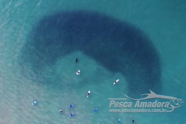 Drone filma foca atacando cardume enquanto surfistas esperavam onda na Australia