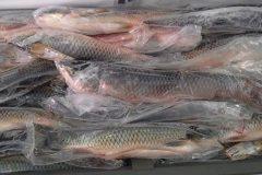 e-tempo-de-piracema-declaracao-de-pescado