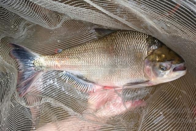 Em meio a lama do Rio Doce nova especie de peixe e notada por pesquisador