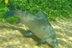 Entenda porque alguns peixes de agua doce exalam ou tem gosto de barro 2