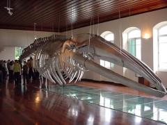 Esqueleto de baleia exposto no museu da pesca em Santos-SP