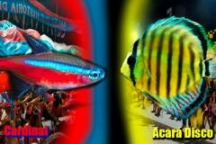 Festival do peixe ornamental de Barcelos-AM