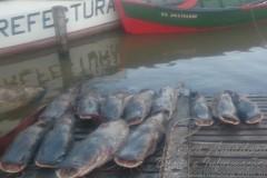 Fiscalizacao apreende pescado ilegal em Paso de La Patria-AR