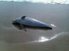 Golfinho encontrado morto e sem cauda em SC