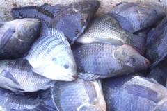 Governador libera criacao de peixes exoticos e ameaca biodiversidade aquatica no Amazonas 2
