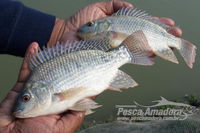 Governador libera criacao de peixes exoticos e ameaca biodiversidade aquatica no Amazonas