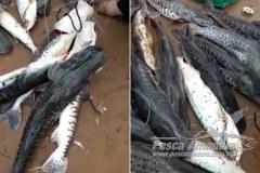 Grupo filma pesca ilegal de cardume de pintados e cacharas no Rio Cuiaba em MT