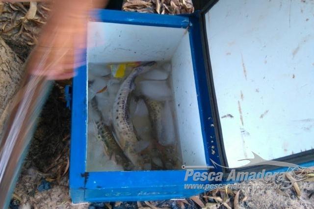 Homem e preso por capturar peixes fora da medida no Rio Iguatemi em MS 3