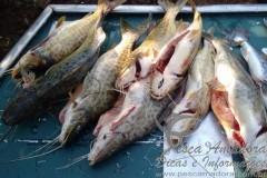 Homem e preso por pesca predatoria em Alvorada do Sul-PR 5