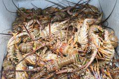 icmbio-desarticula-pesca-ilegal-de-lagostas-em-alagoas-2