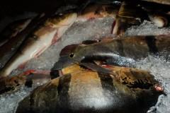 IPAAM apreende 1.300 kg de tucunares pescados ilegalmente em Barcelos-AM 2