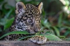 Ibama autua dois por matarem filhote de onca em Manaus
