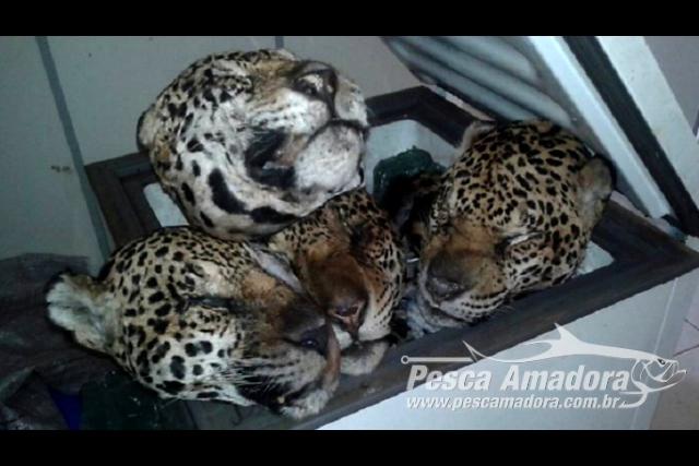 Ibama prende e aplica multa a cacador por matar 19 oncas no Para 2
