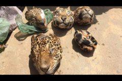 Ibama prende e aplica multa a cacador por matar 19 oncas no Para