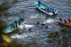 Imagem divulgada pela Reuters mostra pescadores capturando golfinhos no vilarejo de Taiji, no Japão. (Foto: Adrian Mylne/Reuters)