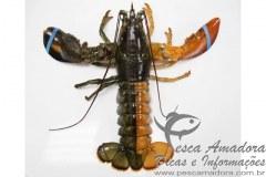 Lagosta de duas cores pescada nos Estados Unidos