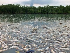 Mais de dez toneladas de peixes morreram com o incendio em Santos