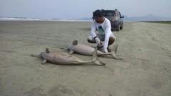 Mais dois golfinhos sao encontrados mortos em Peruibe-SP