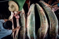 Manejo do pirarucu na Amazonia 2