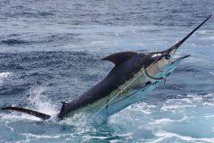 Marlin Azul - Agulhao Azul ou Agulah Negro