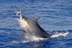marlin-azul-pesca-oceanica-no-es-2