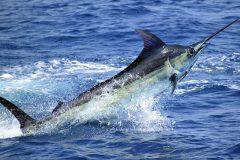 marlin-azul-pesca-oceanica-no-es