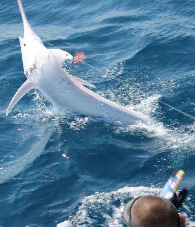Marlin Azul com despigmentacao fisgado na Costa Rica