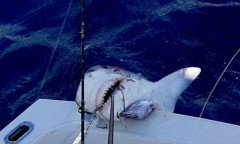 Menino de 12 anos captura tubarao na Florida