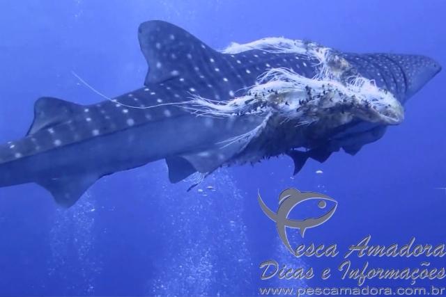 Mergulhador do Seadoors salva tubarao baleia da pesca fantasma nas Filipinas
