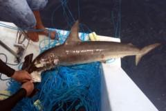 Mergulhadores encontram tubaroes mortos em espinhel na Laje de Santos