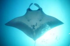 Mergulhadores fotografam duas raias manta gigantes no litoral Sul de SP 2