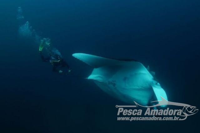 Mergulhadores fotografam duas raias manta gigantes no litoral Sul de SP