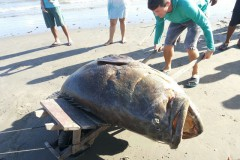 Mero de aproximadamente 2 metros fica preso em rede de pesca no Maranhao 2