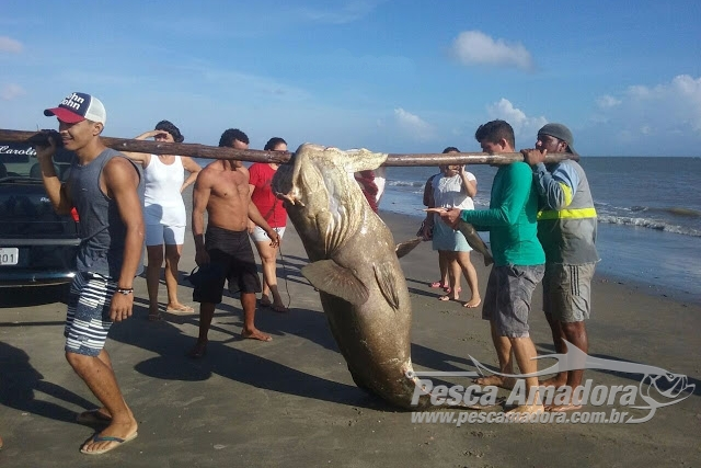 Mero de aproximadamente 2 metros fica preso em rede de pesca no Maranhao