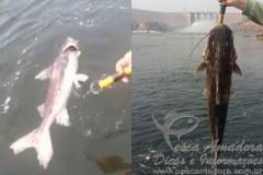 Mortandade de Piraibas no Rio Teles Pires e denunciada 3