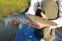 Naturatins define tamanho minimo para pesca de 39 especies na Bacia do Rio Araguaia-Tocantins 2
