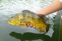 Naturatins define tamanho minimo para pesca de 39 especies na Bacia do Rio Araguaia-Tocantins 3