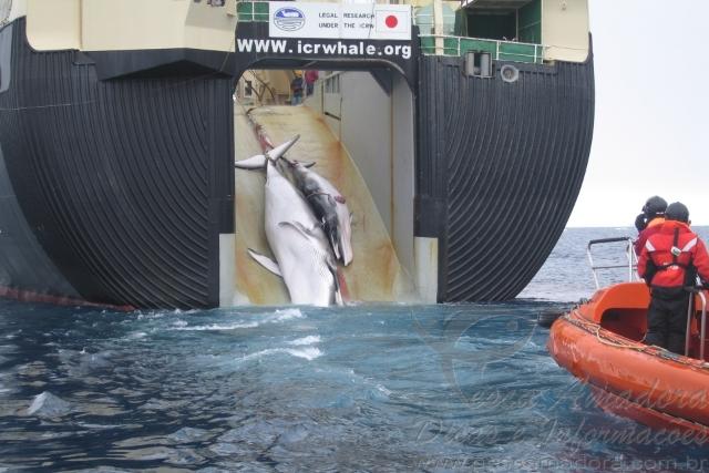 Navio japones abatendo baleias na Antartida