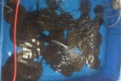 Operacao conjunta prende traficante de peixes ornamentais em Santarem-PA 2