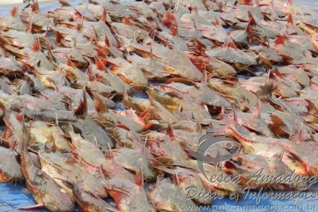 PF apreende cerca de 400 kg de peixes e 3 km de redes no Rio Parana 2