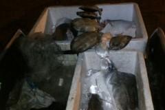 PM apreende 133 kg de pescado e 5 tartarugas em Santa Terezinha-MT 2