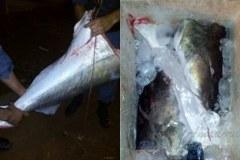 PM apreende 133 kg de pescado e 5 tartarugas em Santa Terezinha-MT