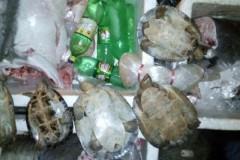 PM apreende 133 kg de pescado e 5 tartarugas em Santa Terezinha-MT 3