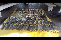 pma-apreende-120-kg-de-pescado-ilegal-e-aplica-multa-de-r-124-em-mt