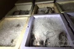PMA apreende 1200 kg de pescado ilegal em Palmas-TO