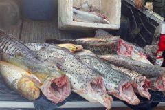 pma-apreende-210-kg-de-pescado-ilegal-durante-fiscalizacao-em-mt