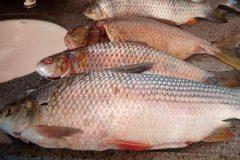 pma-apreende-25-kg-de-pescado-ilegal-e-autua-infrator-em-r-12-em-ms