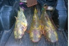 PMA apreende 3 exemplares de jau pescados ilegalmente no MS