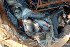 PMA apreende 31 rede 100 kg de carne e 252 kg de pescado ilegal no Rio Meia Ponte-GO 4