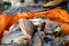 pma-apreende-413-kg-de-pescado-ilegal-e-aplica-r-24-mil-em-multas-no-ms-5